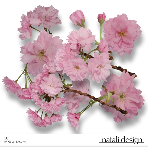 CU Flowers Sakura